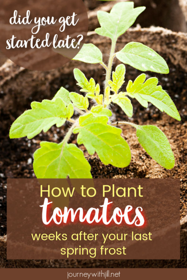 How to plant tomatoes late in the season