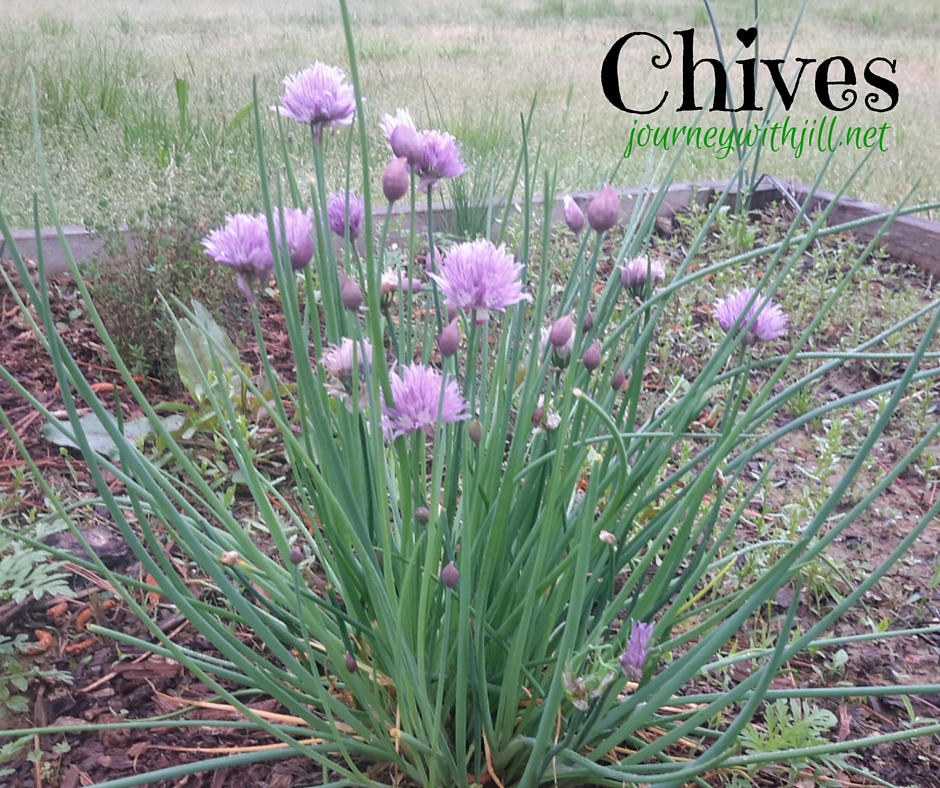Chives - Favorite Herbs | Journey with Jill