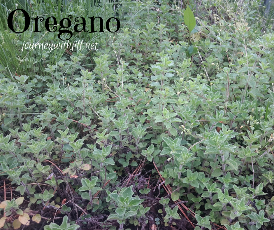 Oregano - My Favorite Herbs | Journey with Jill