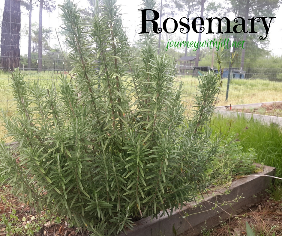 rosemary in raised bed