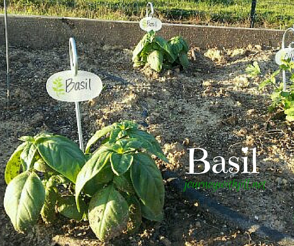 Basil - Favorite Herbs | Journey with Jill