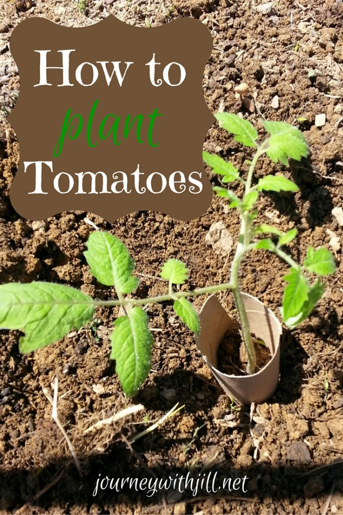How to Plant Tomatoes in 11 Steps | Journey with Jill
