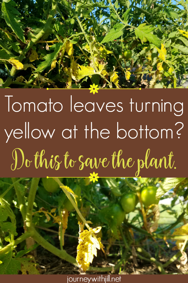 yellow leaves on the bottom of tomato plant