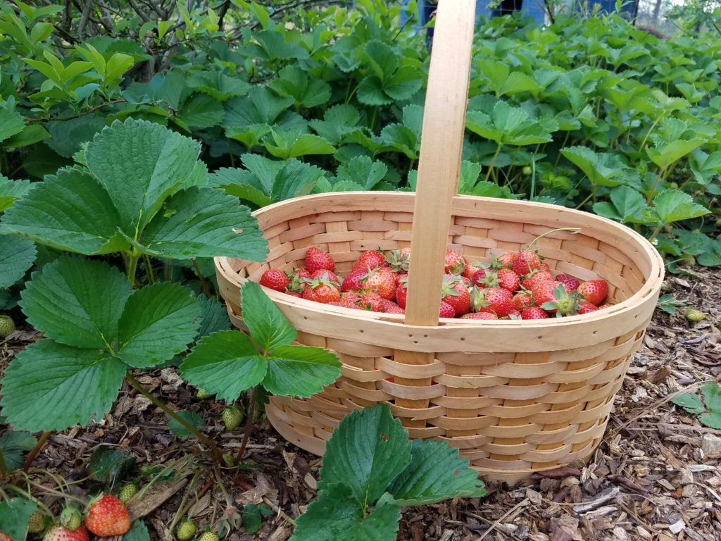 How to Get a Bumper Crop of Strawberries   Journey with Jill