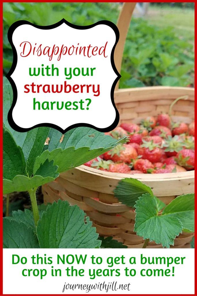 Disappointed in Your Strawberry Harvest?   Journey with Jill