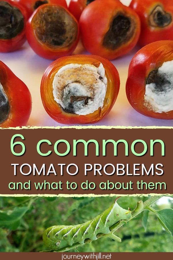 6 Common Tomato Problems