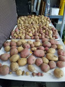Curing Potatoes in the Garage | Journey with Jill