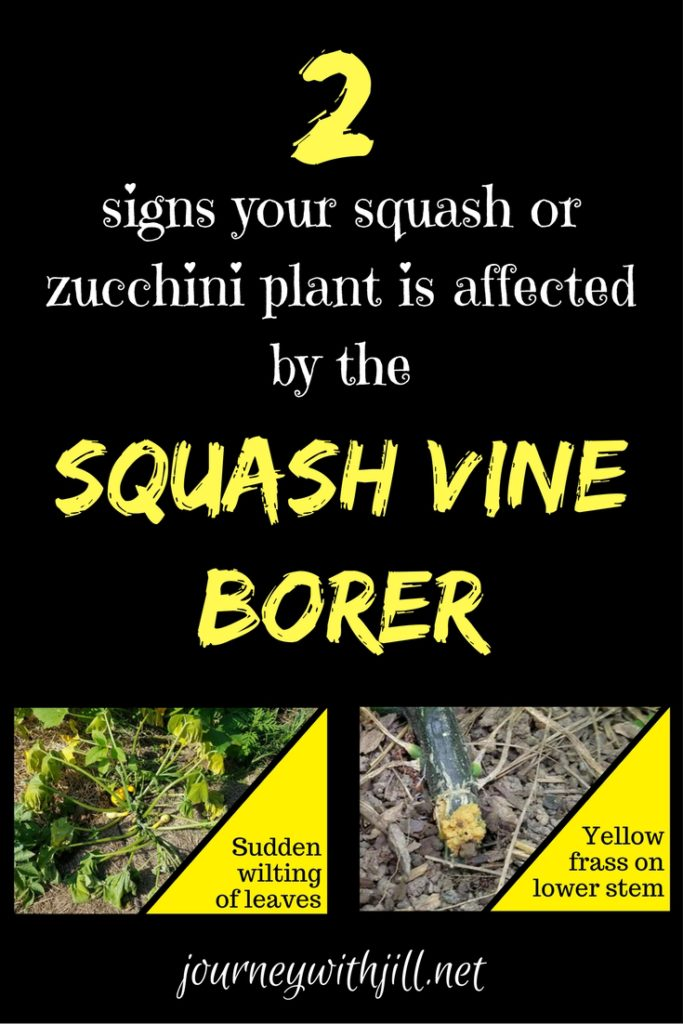 squash vine borer signs | Journey with Jill