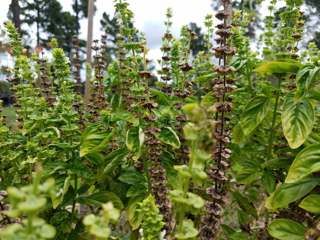 When to Harvest Basil Seeds | Journey with Jill