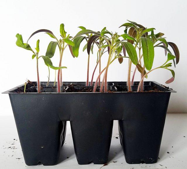 seed starting tomato seedlings