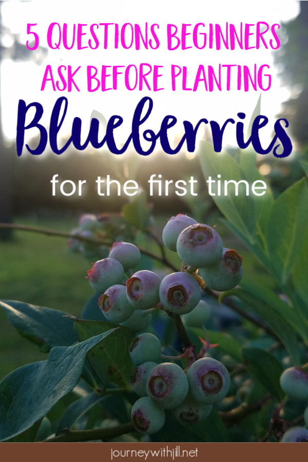 5 Questions Beginners Ask Before Planting Blueberries for the First Time