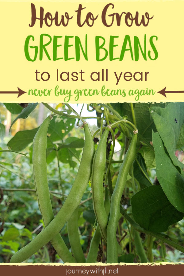 How to Grow Green Beans to Last All Year