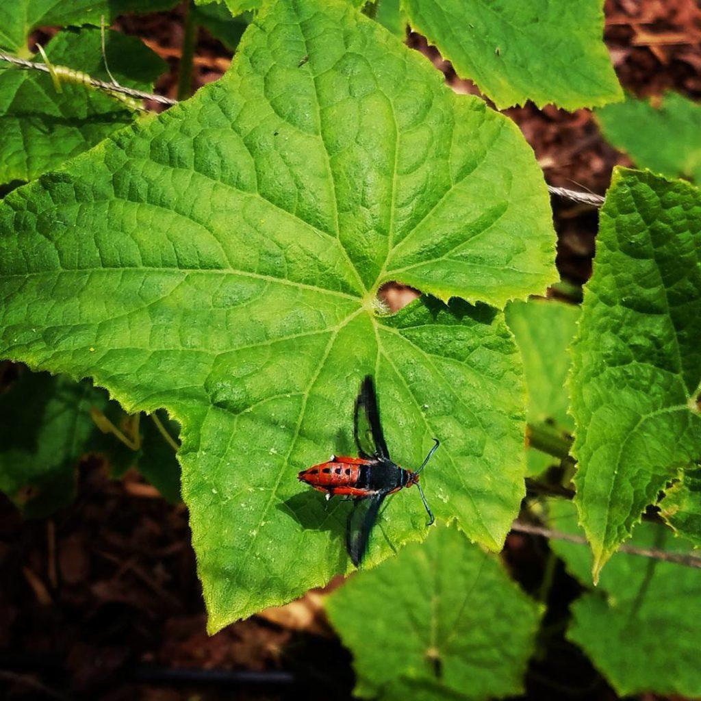 adult squash vine borer moth