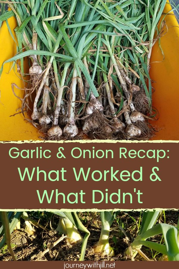 Garlic and Onion Harvest - What Worked and What Didn't