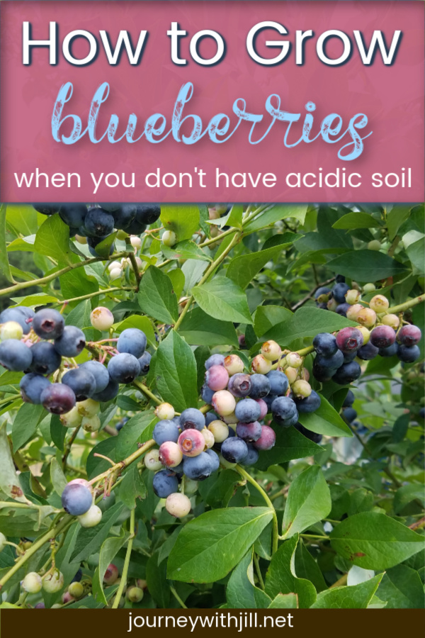 How to Grow Blueberries when you don't have acidic soil