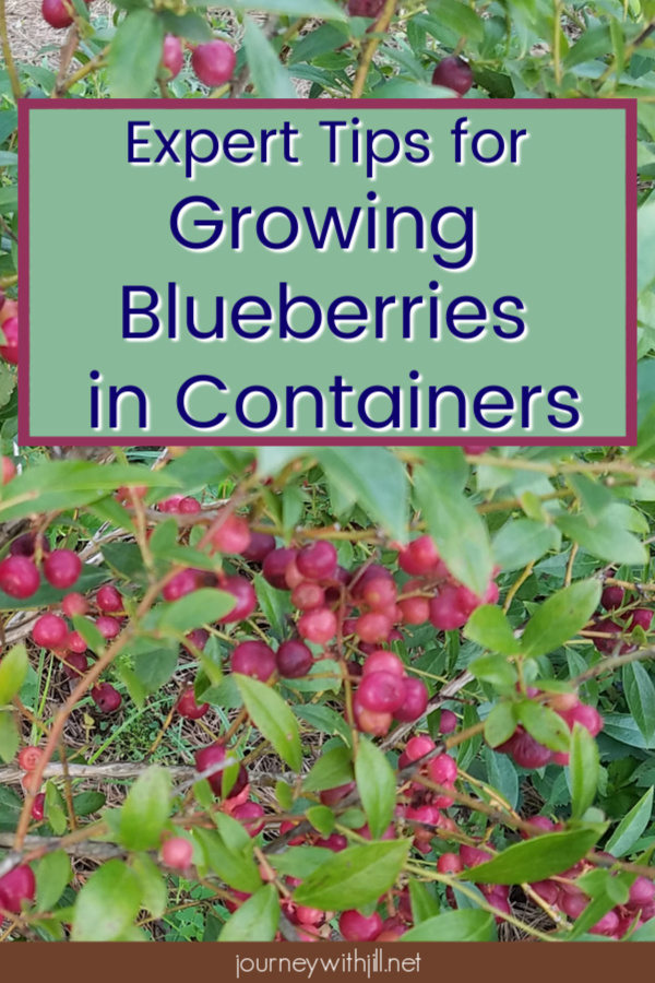 Expert Tips to Grow Blueberries in Containers