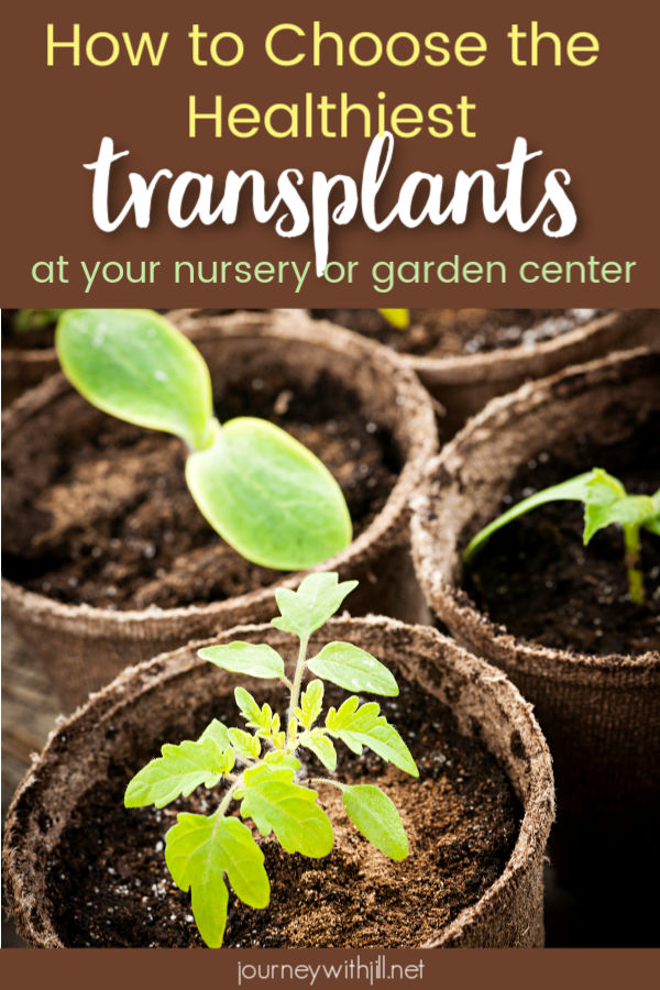 How to Choose the Healthiest Transplants at the Nursery or Garden Center