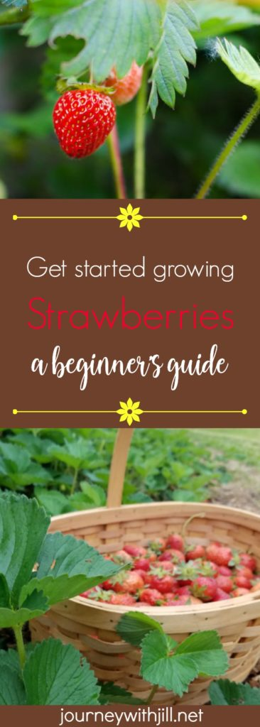 Get Started Growing Strawberries -- a Beginner's Guide
