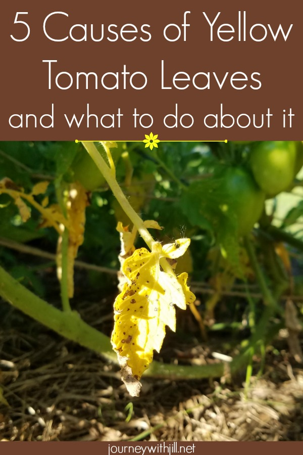 5 causes of yellow tomato leaves