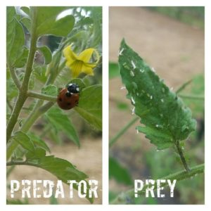 ladybugs and aphids
