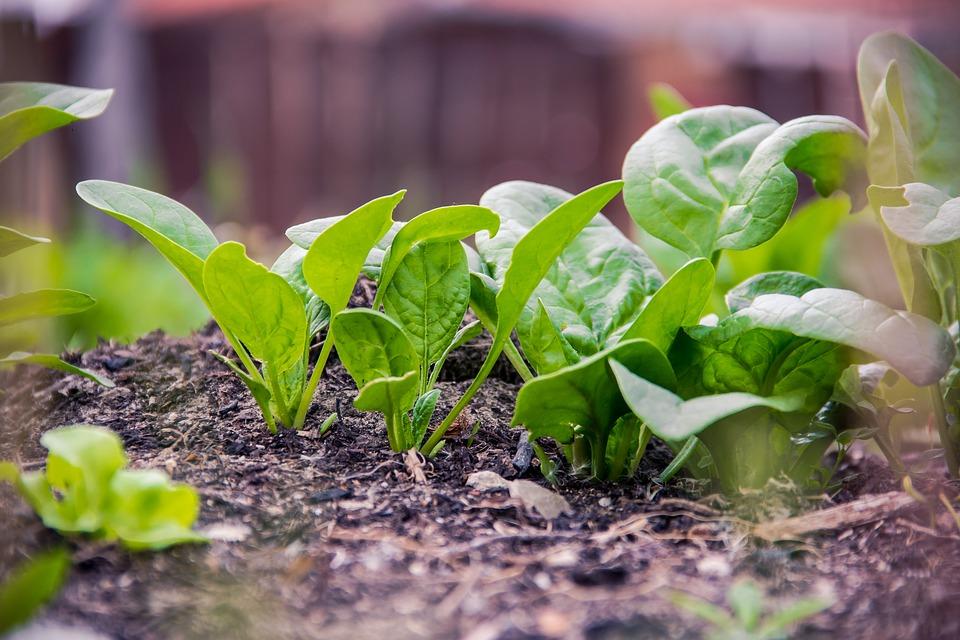 spinach in fall garden