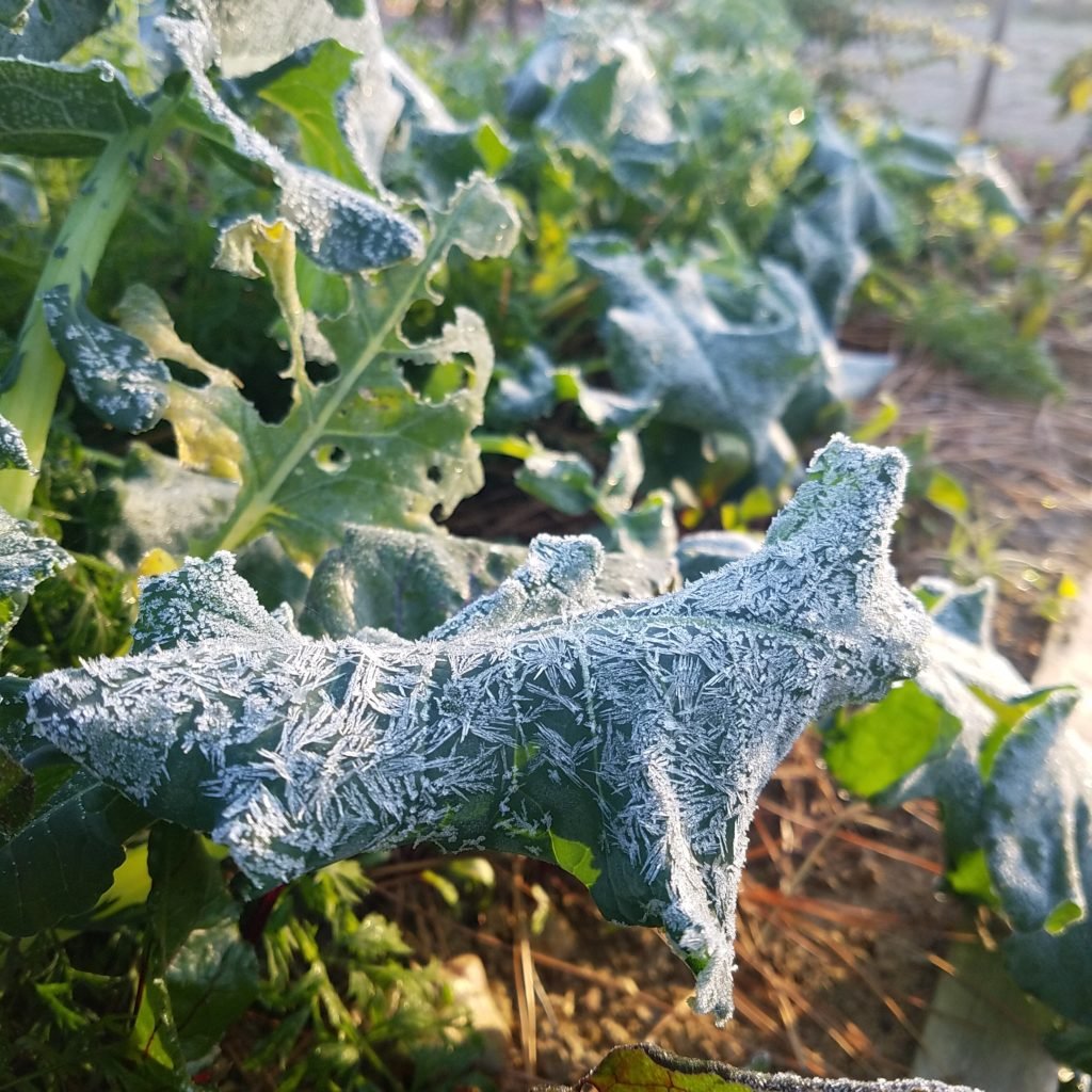 fall broccoli frost