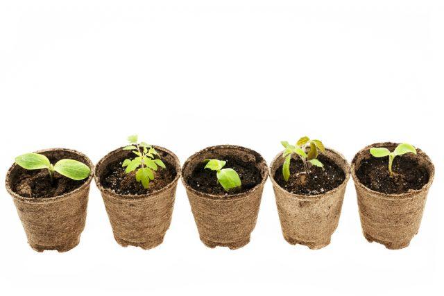 Start Seeds growing in peat moss pots