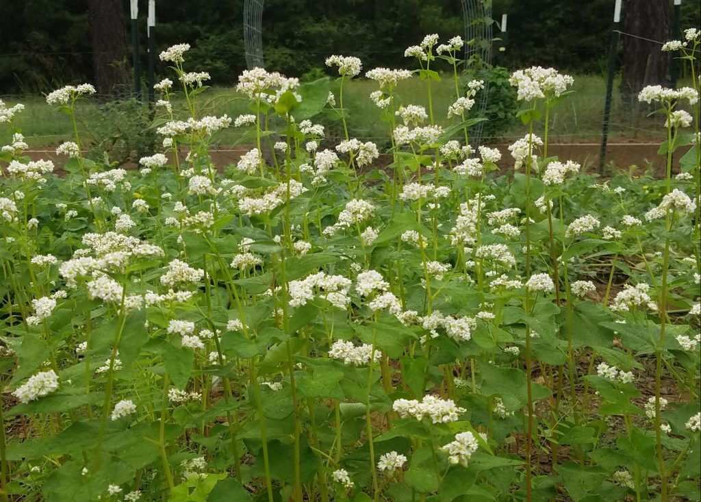 flowering buckwheat attracts beneficial insects