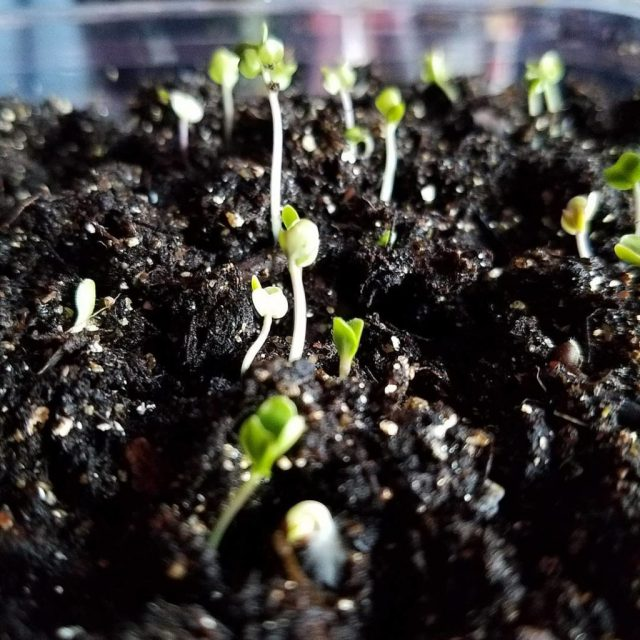 lettuce and cabbage sprouts