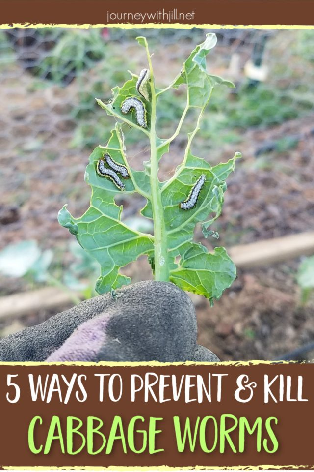 organic cabbage worm control