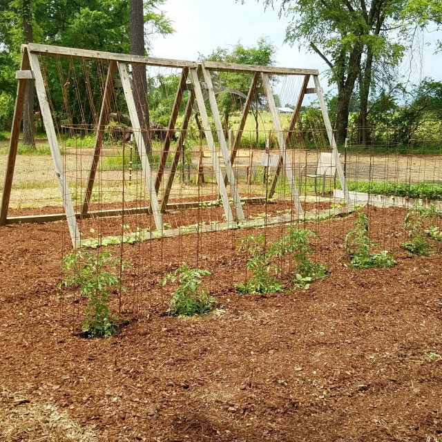 tomato cages in garden