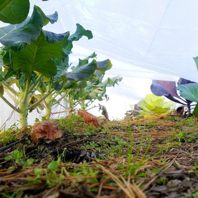 floating row cover to prevent cabbage worms