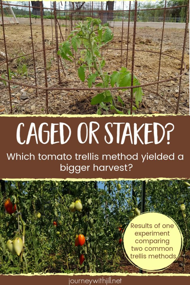 tomato cages vs stakes for a better harvest