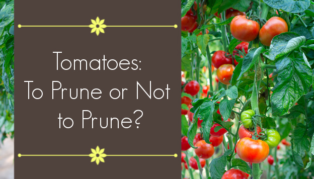 Is Pruning Tomato Plants Necessary?