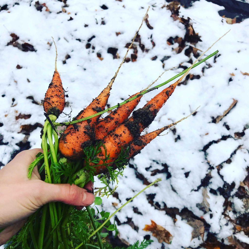 Harvest Carrots in Winter