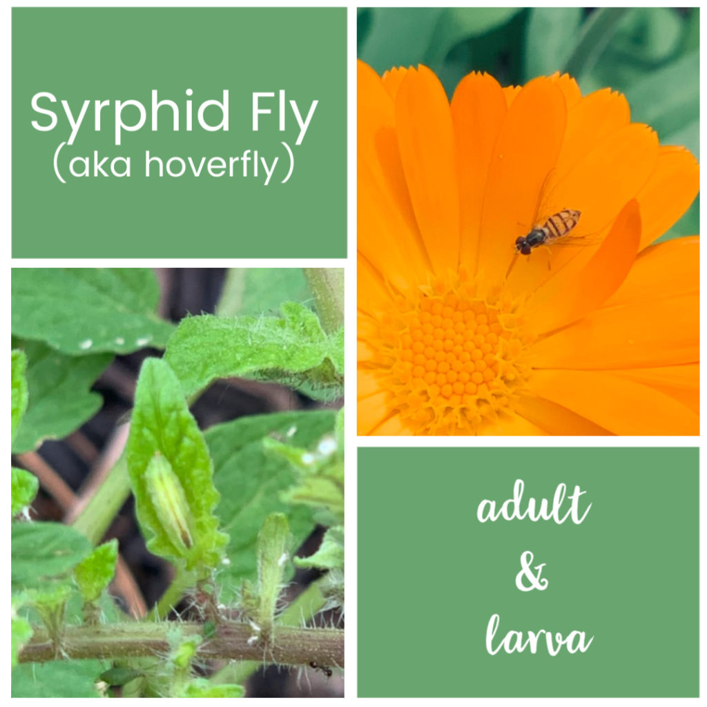 syrphid flies will help with pest control