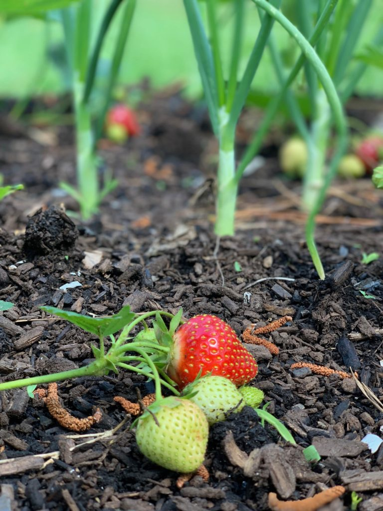 strawberry and onion companion plants