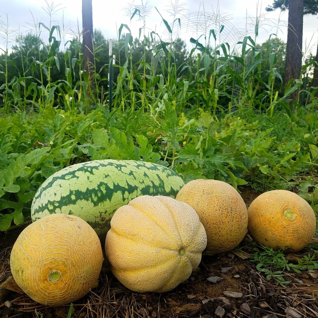 Cantaloupe and watermelon in garden
