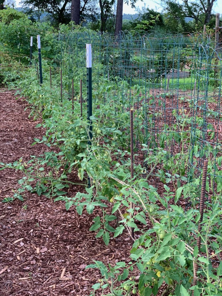 mulch tomato plants to prevent early blight