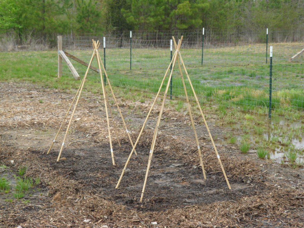 bamboo-tepee trellis in first garden