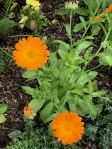 calendula in medicinal herb gardening