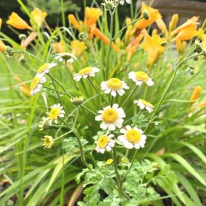 feverfew in the medicinal herb garden