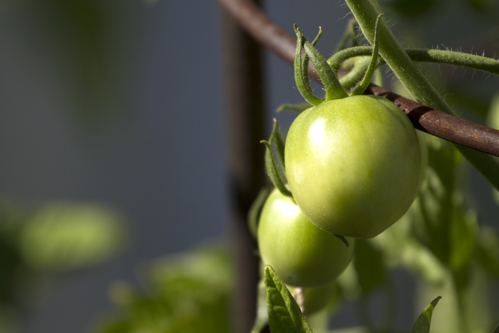 green tomatoes picked early