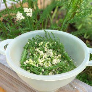 yarrow medicinal herb