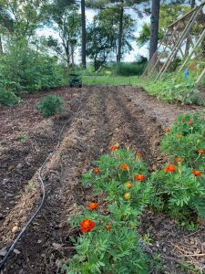 succession planting potatoes and black-eyed peas