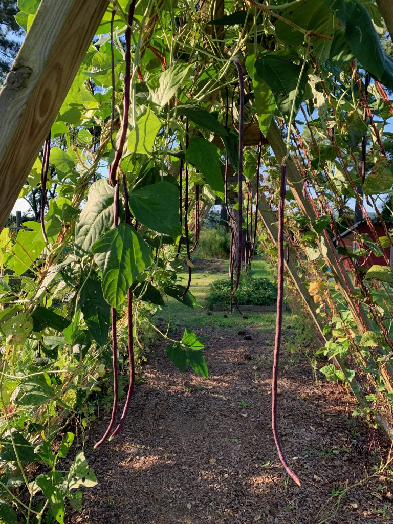 chinese red noodle beans on a-frame trellis