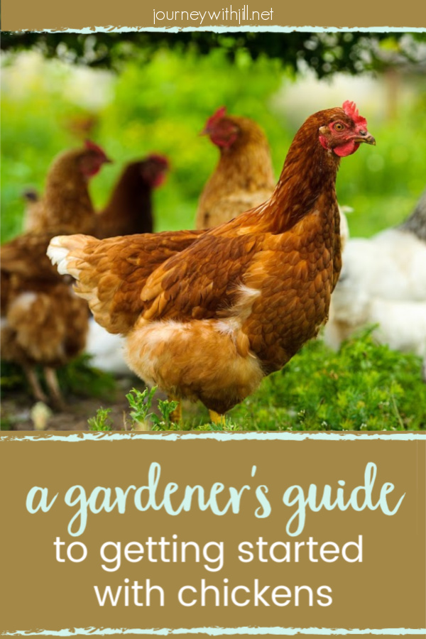 a gardener's guide to getting started with chickens