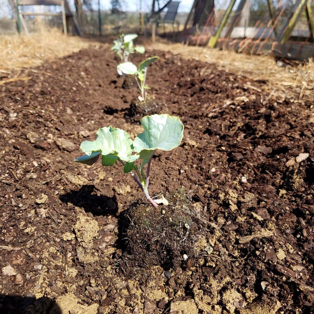 broccoli seedling in soil block