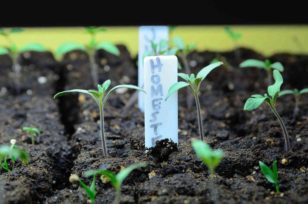 tomato seedling under grow lights
