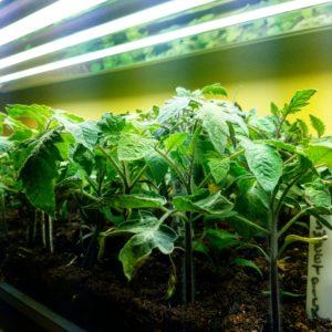 grow-light-tomato